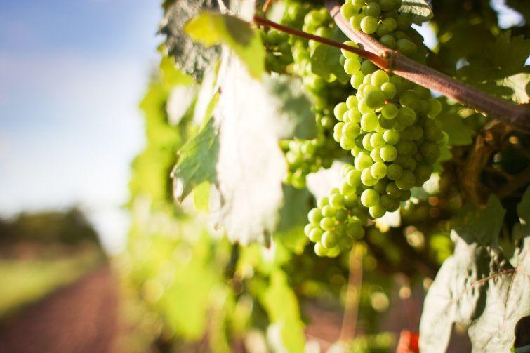الفوائد الصحية للعنب؟ وما علاقته بصحة القلب والشرايين؟