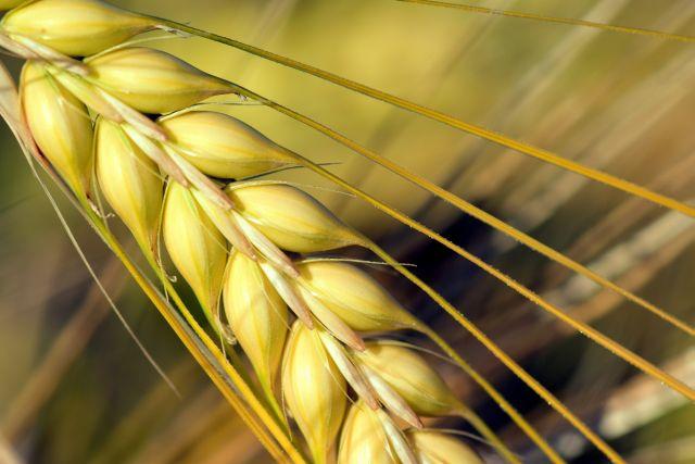 الشعير،النشويات من أهم النشويات الشعير المحلي الطبيعي العربي، الذي لا يعرف تغيير وراثي و ليس مستورد.